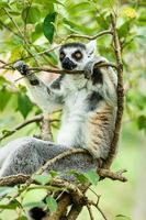 Ring-tailed lemur sleeping in the tree