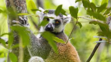 Eye of the lemur