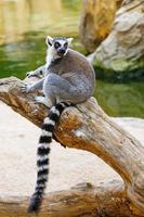 lémur foto