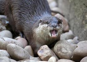 Otter on pebbles photo