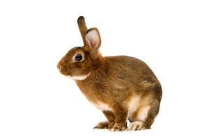 Castor Rex rabbit over white