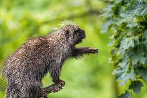 North American porcupine reaching for leaves