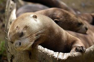 Portrait of giant otter