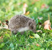 Hedgehog on a grass