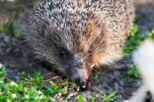 hedgehog close-up portrait photo