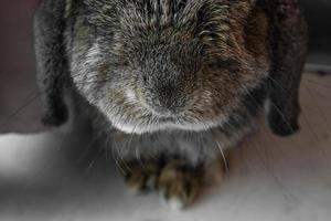 nariz de conejo de primer plano foto