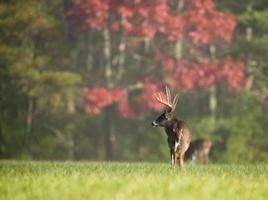 Large white-tailed deer buck photo