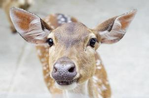 chital deer face
