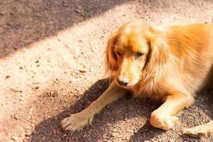 perro marrón está tendido en el suelo