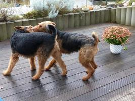 Our Airedale Terrier - His playmate morning kiss...
