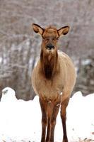 Elk in Winter Canada photo