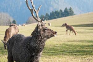 herd of fallow deer grazing on the pasture
