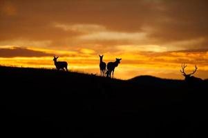 Elk Silhouette photo