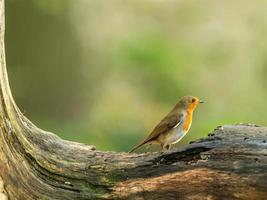 Beautiful European Robin (Erithacus rubecula) photo