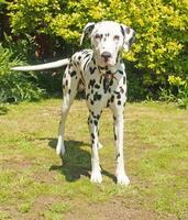 Adult Dalmatian in garden