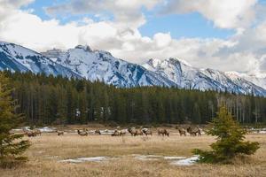 Wild Elk photo