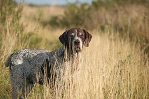 A German Shorthaired Pointer standing in a field