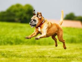 A purebred boxer dog leaping into the air