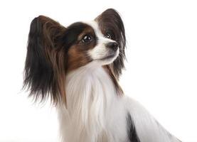 Papillon - Continental Toy Spaniel in studio shot
