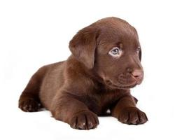 chocolate puppy labrador is lying on the white photo