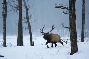 Bull elk in winter photo