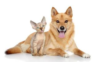 Devon rex kitten and  Finnish spitz on white background