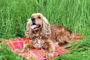 English cocker spaniel outdoors