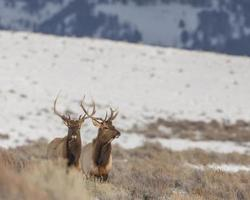 Pair of bull elk in winter