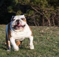 english bulldog running photo