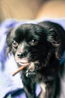 pequeño chihuahua foto