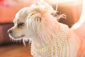 Ballerina hair style chihuahua wearing pearls