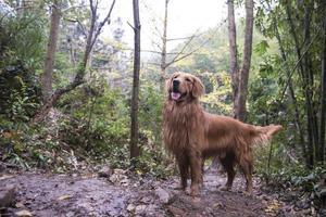 The golden retriever in outdoor jungle