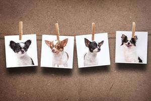 chihuahua foto's