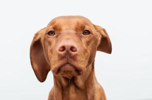 Primer plano de perro serio vizsla húngaro foto