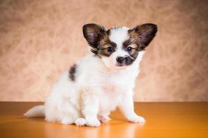 Cute Papillon puppy