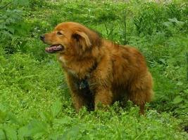 perro rojo en hierba verde foto