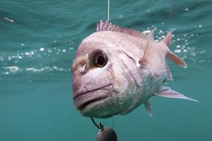 hooked Snapper photo