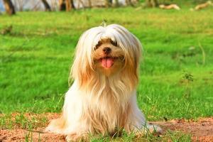 Little dog on green yard photo