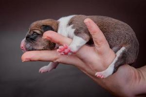 Newborn basenji puppy, first day