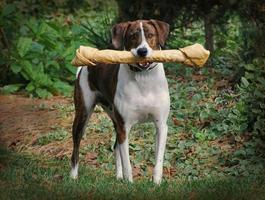 Perro de caza con hueso grande en la boca foto