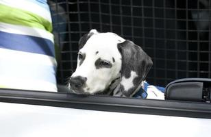 Young dalmatian sitting in car boot