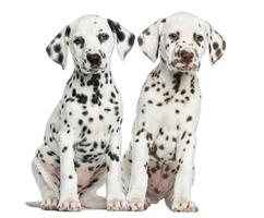 Front view of Dalmatian puppies sitting, facing photo
