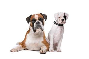 Brown boxer dog and a boxer puppy photo