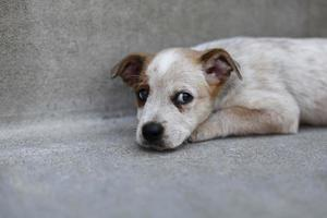 Red Heeler, Rat Terrier mix puppy laying down