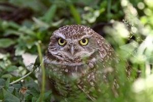 Burrowing Owl amongst vegetation photo