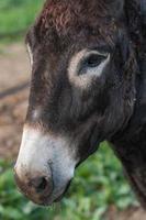 Portrait donkey photo