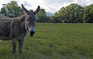 burro en el campo