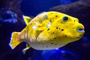 Blackspotted puffer photo