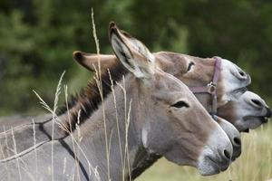 tres burros de perfil