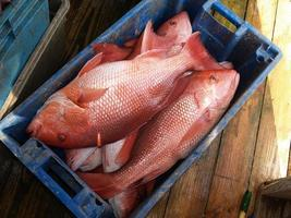 Red Snapper in einer blauen Kiste